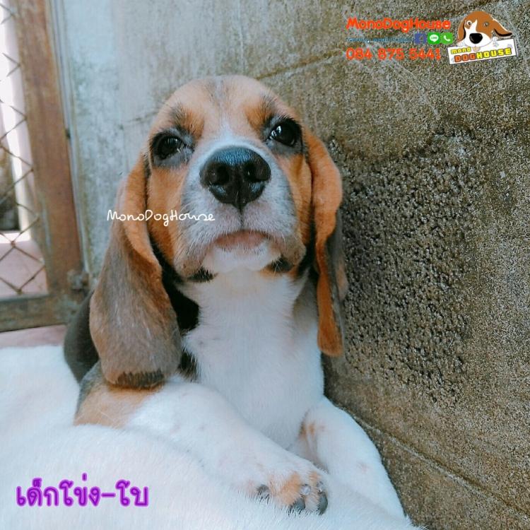 บีเกิ้ล Beagle BEAU