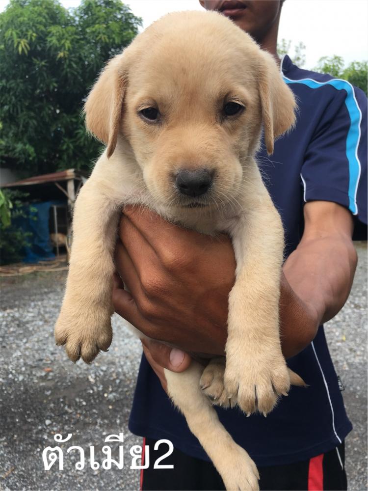 ขายสุนัขลาบราดอร์