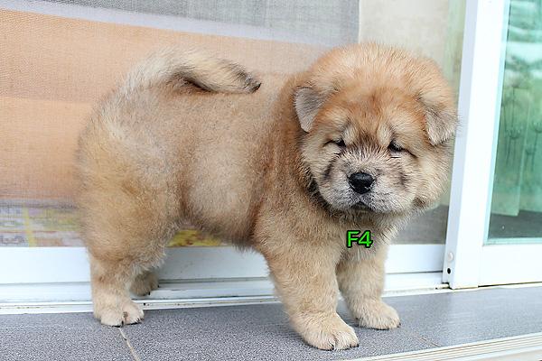 ลูกสุนัข เชาเชา 45 วัน อ้วนๆ น่ารักๆ