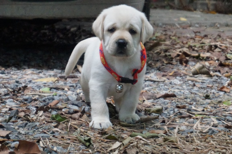 """Female labrador puppies are available for sales, born April 15th 2018 .Sir """"Bossa"""" RUS.TH.CH"""