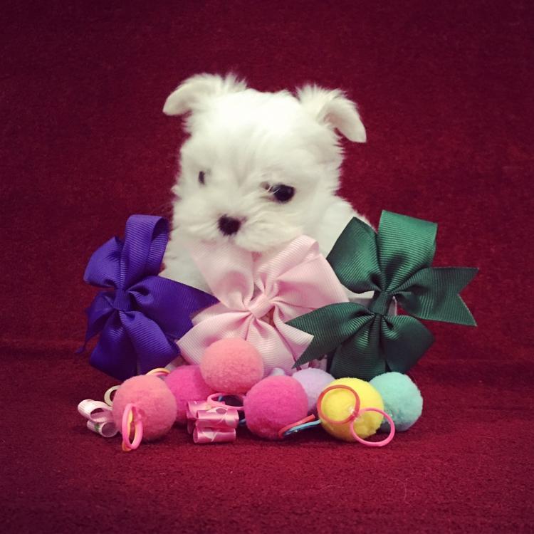 ( HBD - 06 May 18 ) เปิดจอง ลูกสุนัขมอลทีส 1 หญิง , 3 ชาย ( พ่อไทยแชมป์สายเกาหลี ) น้ำหนักไม่เกิน 2