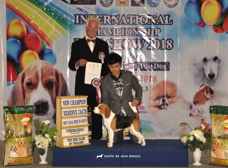 พ่อพันธุ์บีเกิ้ลรับผสม (Beagle)