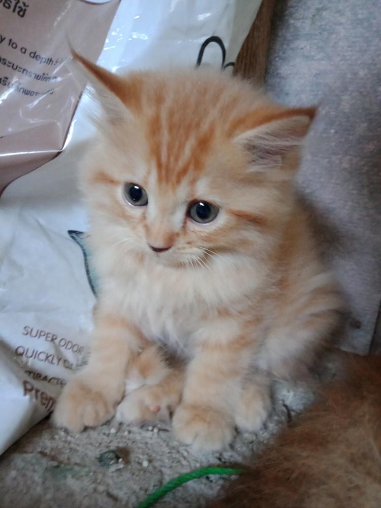 ลูกแมวเปอร์เซียหน้าตุ๊กตา