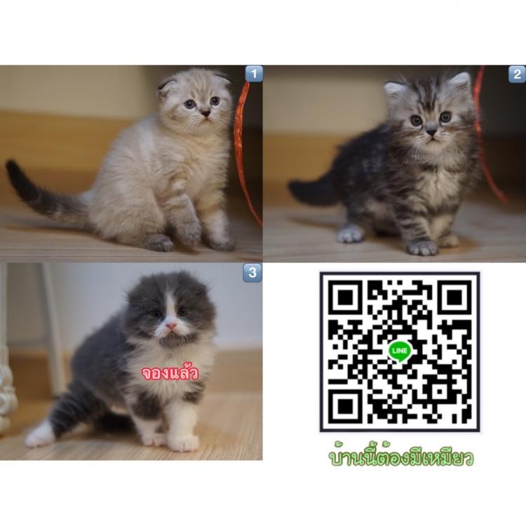 ((✅เปิดจอง))..ลูกแมวสก็อตทิชโฟลด์