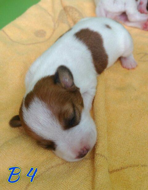 ขายลูกสุนัขแจ็ครัสเซล ขนสั้น แท้100% มาร์คกิ้งโดนๆ มีให้เลือก 3 ตัวนะคะ
