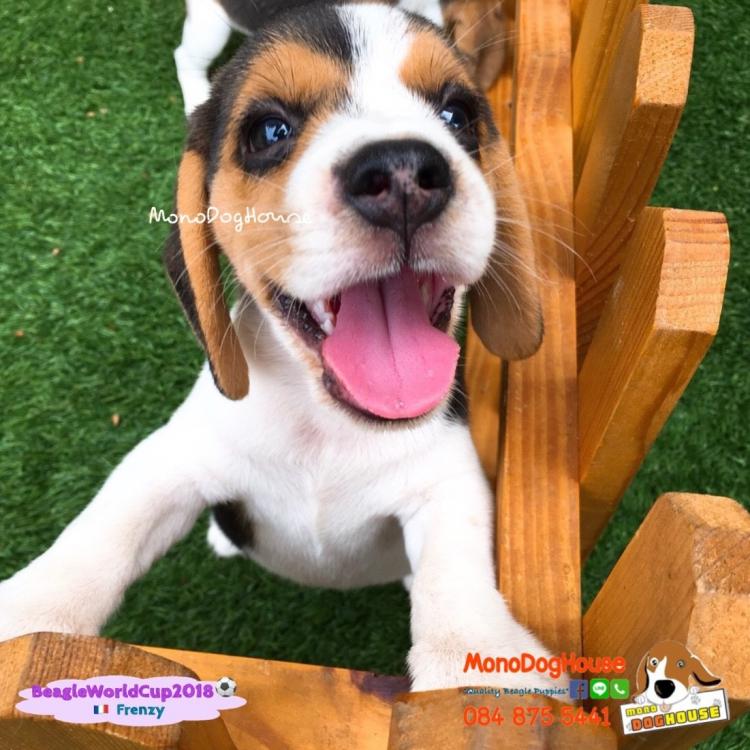 บีเกิ้ล Beagle World Cup 2018