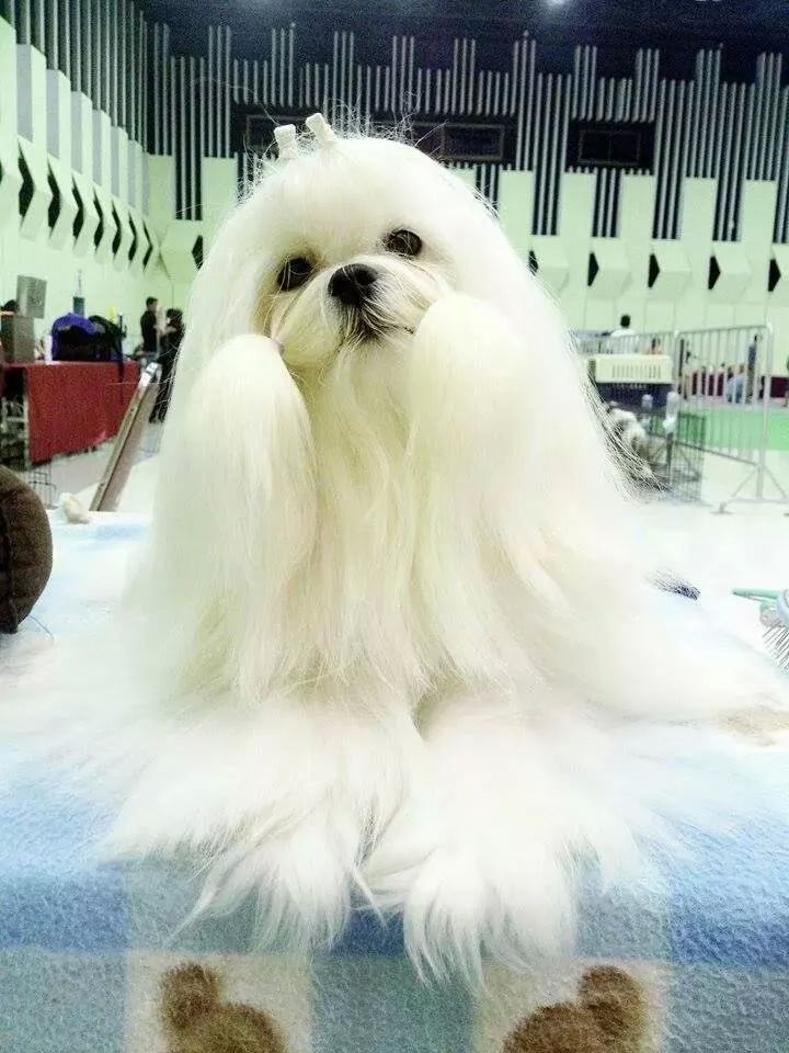 Glossy White Maltese เปิดจองลูกสุนัขมอลทีส ลูกThailandChampionสายเลือดแชมป์จากเกาหลี Tel.087-5075969