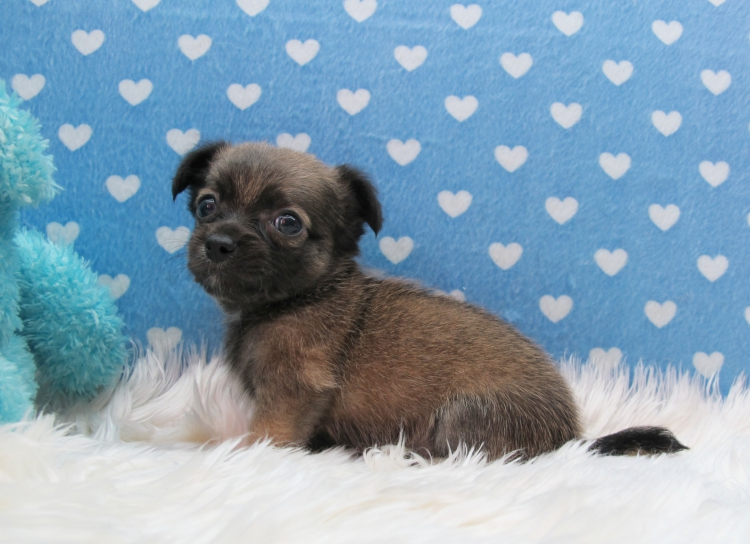 ชิวาวา ขนยาว เพศผู้ สีน้ำตาลสวยแปลกตา 4900 (สุนัขบ้าน-รับประกันโรค)