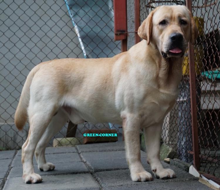 ลูกสุนัขลาบราดอร์สีเหลือง เกิด 9 กันยายน 61 สีเหลือง ชาย 5 หญิง 1พ่อแพทริก กะ แม่เฌอแตม กรีนคอร์เนอร