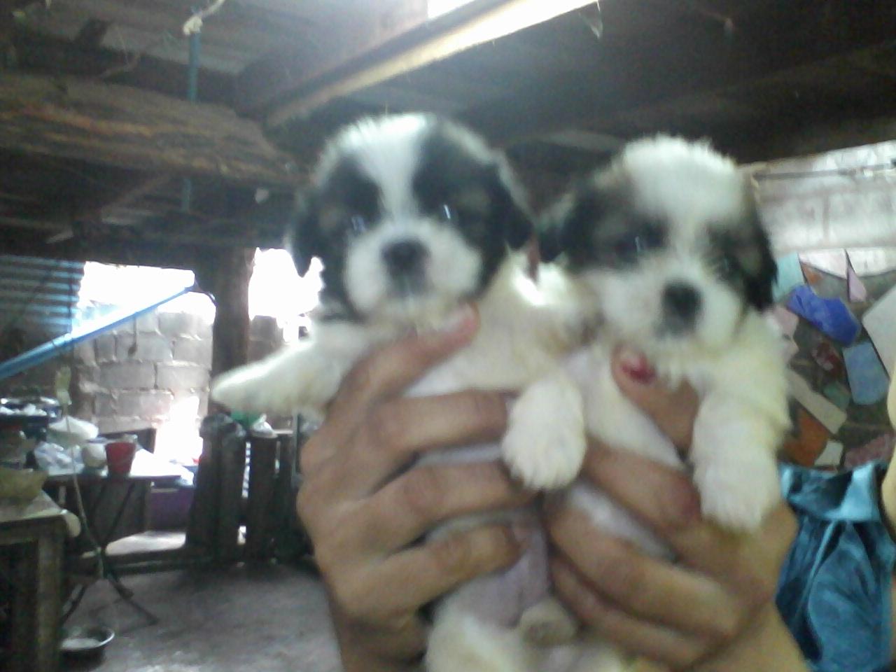 ขายลูกสุนัขพันชิสุ 5 ตัว เพศผู้ 3 ตัว เพศเมีย 2 ตัว อายุ 45 วัน ครับ