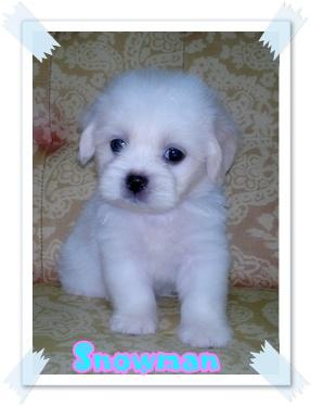 น้องสโนว์แมน ลูกชิสุผสมปอม เพศผู้ สีขาวครีม น่ารักมากๆ
