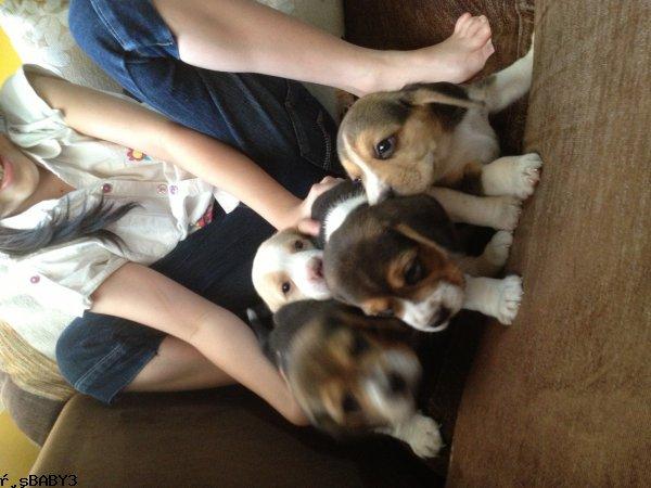 ขายหมาบีเกิ้ล beagle พันธุ์แท้ ขนาด13นิ้ว หน้ามู่ มีสีขาวครีมหายากมากๆ ตัวละ 6500 บาท หมาบ้านปลอดโรค