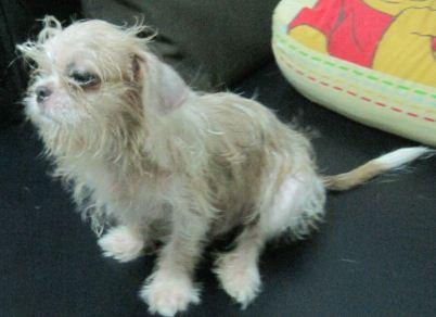 ขายหมาลูกผสม ลูกชิวาวา + ผสมชิสุ ตัวผู้ เตี้ย อ้วน หนัก 2 กก กว่า