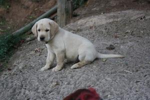 ลูกสุนัขลาบราดอร์