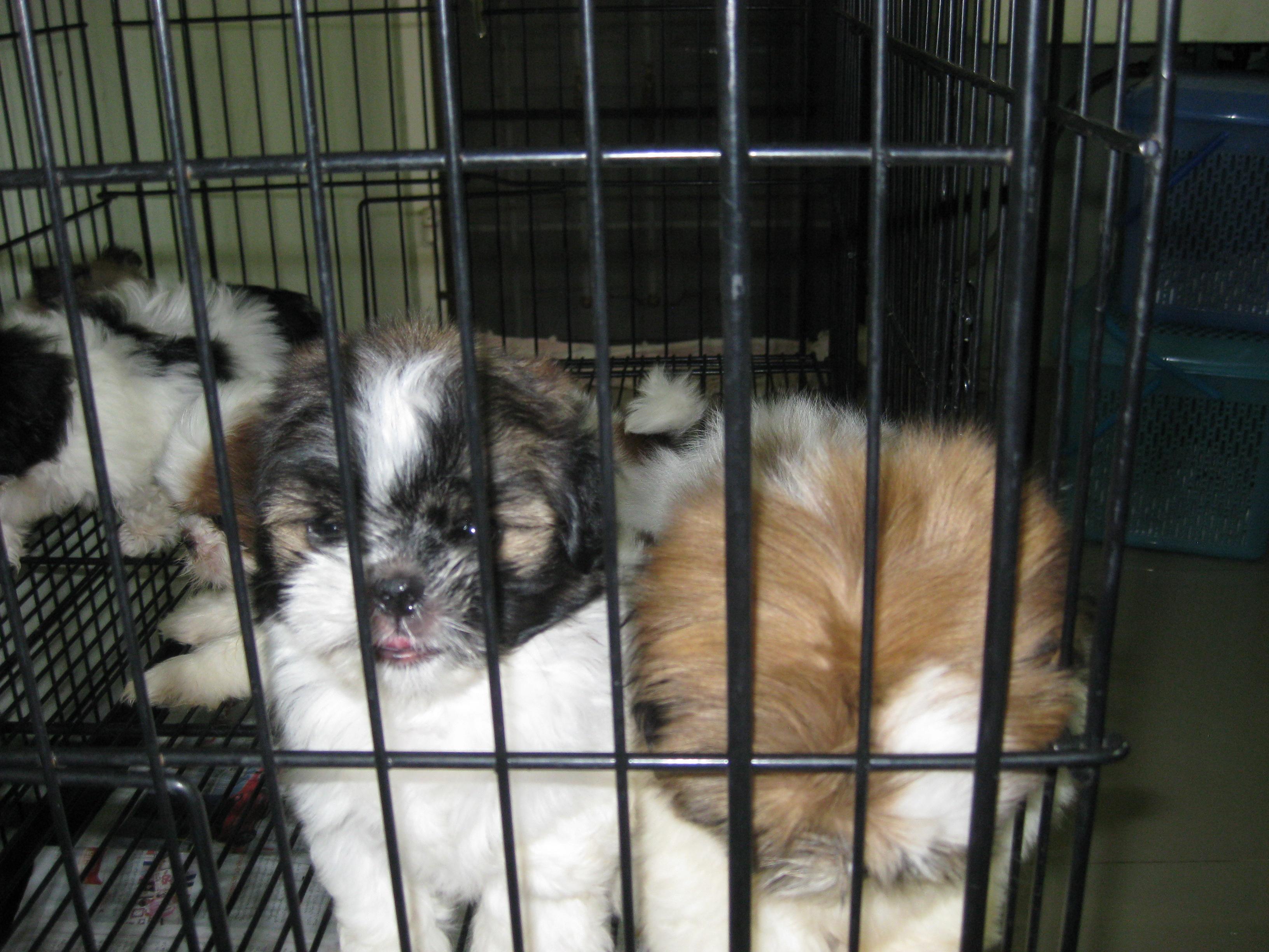 ขายลูกสุนัขชิสุห์ทอย 2 เดือน ผู้ 3 เมีย 1