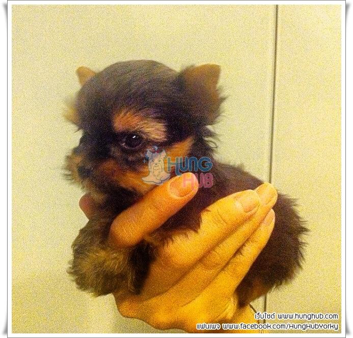 HungHubYorky จำหน่ายลูกสุนัขพันธุ์ ยอร์คเชียร์ เธอเรีย ไซส์ทีคัพ หน้าตาน่ารักเหมือนตุ๊กตา