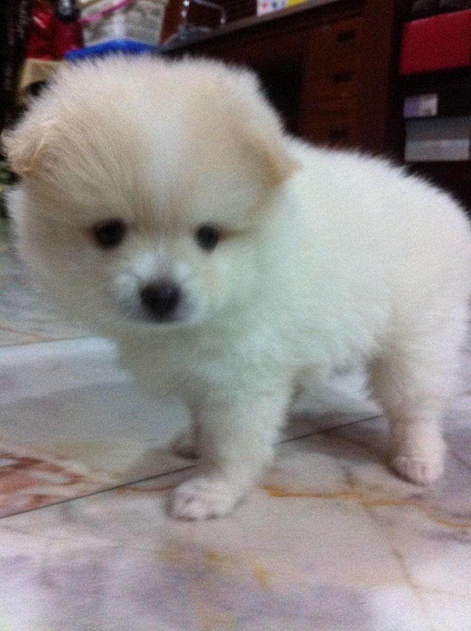 ขายหมาพันธุ์ปอมผสมปอมสปิด ไซค์เล็ก อายุตอนนี้ประมาณ 1 เดือนกว่า