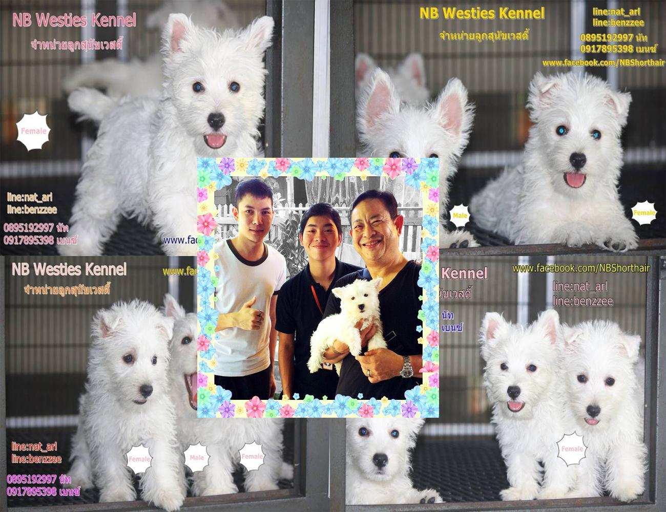 จำหนายลูกสุนัขสายพันธุ์เวสตี้(West Highland White Terrier) เพศผู้ 1 เพศเมีย 1