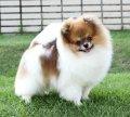 Fluke's Pomeranian ฟาร์มสุนัขปอมเมอเรเนียนคุณภาพระดับประกวด