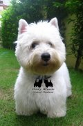 ขายลูกสุนัข เวสไฮร์แลนด์ไวท์เทอร์เรีย (เวสตี้) Westie มารตรฐาน