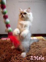 ++ลูกแมวชิชิลล่า น่ารักๆ แข็งแรงฝุดๆจร้าาาา++