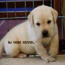 ***ขาย ลูกสุนัข ลาบลาดอร์ การันตีความสวย รับประกันสุขภาพลูกสุนัขทุกตัว โทร. 064-1455299  เอกครับ