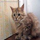 +++น้องแมวลูกผสมชิชิลล่ากับเมนคูนCFA พร้อมย้ายบ้านจร้าาา+++