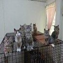 +++น้องแมวลูกผสมชิชิลล่ากับเมนคูนCFA พร้อมย้ายบ้านจร้าาา....ส่งฟรีจร้าาา!!!!+++