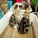 +++เปิดจองน้องแมวสก๊อตติชหูตั้ง จำม่ำๆคร่าาา+++