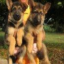 ขายสุนัขบ้านครับ เยอรมัน เซพเพอร์ด หรืออัลเซเชี่ยน เพศเมีย 2 ตัว (มีบริการส่งครับ)