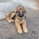 ลูกสุนัขเยอรมันเชพเพรดสายเลือดนอก สนใจสอบถาม0931240112