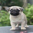 ขายลูกสุนัขปั๊กเพศผู้ เกรดShow(ขายแล้วครับ)