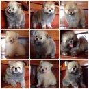 มีลูกสุนัขพันธ์ปอมเมอเรเนียน ขายทั้งปลีกและส่ง สนใจติดต่อได้ มีทุกเพศ ราคาเบาๆ โทร0867562130 (บริการ