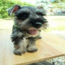 ลูกสุนัขมิเนเจอร์ ชเนาเซอร์ แท้ ๆ MINIATURE SCHNAUZER 8,000 บาทมีใบเพ็ด  สุขภาพแข็งแรงถ่ายพยาธิและฉี