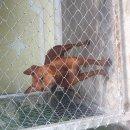 เปิดจองลูกสุนัขไทยหลังอาน สีแดง (แท้)0892384559