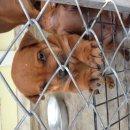 ขายลูกสุนัขไทยหลังอาน สีแดง โครงสร้างดี