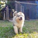 Lovelydog Thailandลูกไจแอ้นอลาสกัน สีขาวเทาคลอดในไทย พ่อแม่นำเข้าจากต่างประเทศ
