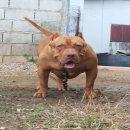 อเมริกัน พิทบลูเรดโนส สายเลือดนำเข้า ใบABKC หมาอยู่จันทบุรี