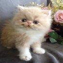 ++++++ น่ารักสุดๆ ลูกแมวเปอร์เชียหน้าบี้ เพศเมีย ราคาโดนๆ ++++++