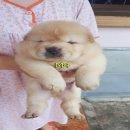 ลูกสุนัข เชาเชา สีครีม เหลือ 2 ตัว