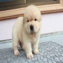 ลูกสุนัข เชาเชา สีครีม (หลุดจอง)