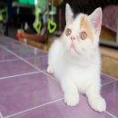 ###[พร้อมย้ายบ้าน]## น้องแมวExotic Shorthairสายพันธุ์ดีพ่อ แม่ลูกครึ่ง CFAเป็นแวนคร่าา##