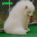 บริการรับจ้างผสมพันธ์ เรามี...พ่อพันธ์สุนัขซามอยด์<Samoyed>เป็นสุนัขนำเข้า