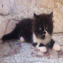 ลูกแมวเปอร์เซียแท้สีขาวดำหล่อๆพร้อมย้ายบ้านค่ะ