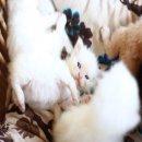 เปิดจองน้องแมวเปอร์เซีย (แท้) เชียงใหม่ !!!!!!