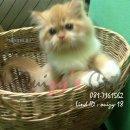 น้องแมวเปอร์เซีย สุขภาพแข็งแรง ร่าเริง พิกัดเชียงใหม่