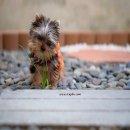 เพาะพันธุ์ & จำหน่าย Yorkshire Terrier หน้าตุ๊กตา เกรดคุณภาพ