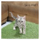 น้องแมวอเมริกันช๊อทแฮร์ ลายชัด ฟอร์มสวย ราคาเบาๆคะ5