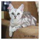 น้องแมวอเมริกันช๊อทแฮร์ ลายชัด ฟอร์มสวย ราคาเบาๆคะ6