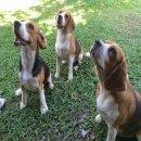 Smile beagle มีแม่พันธ์สาวแบ่งจำหน่าย